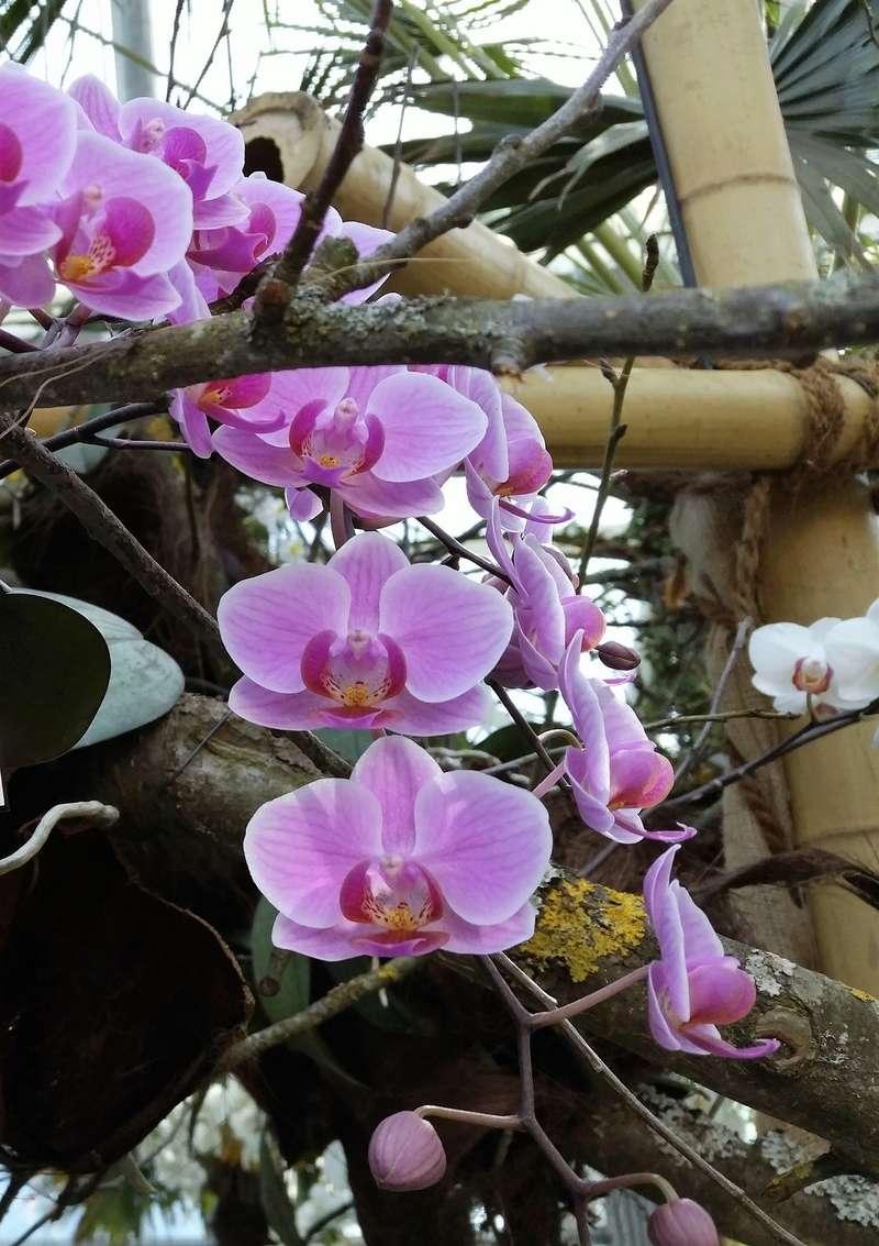 Orchideen-Ausstellungen aus aller Welt - Seite 3 Phalae13