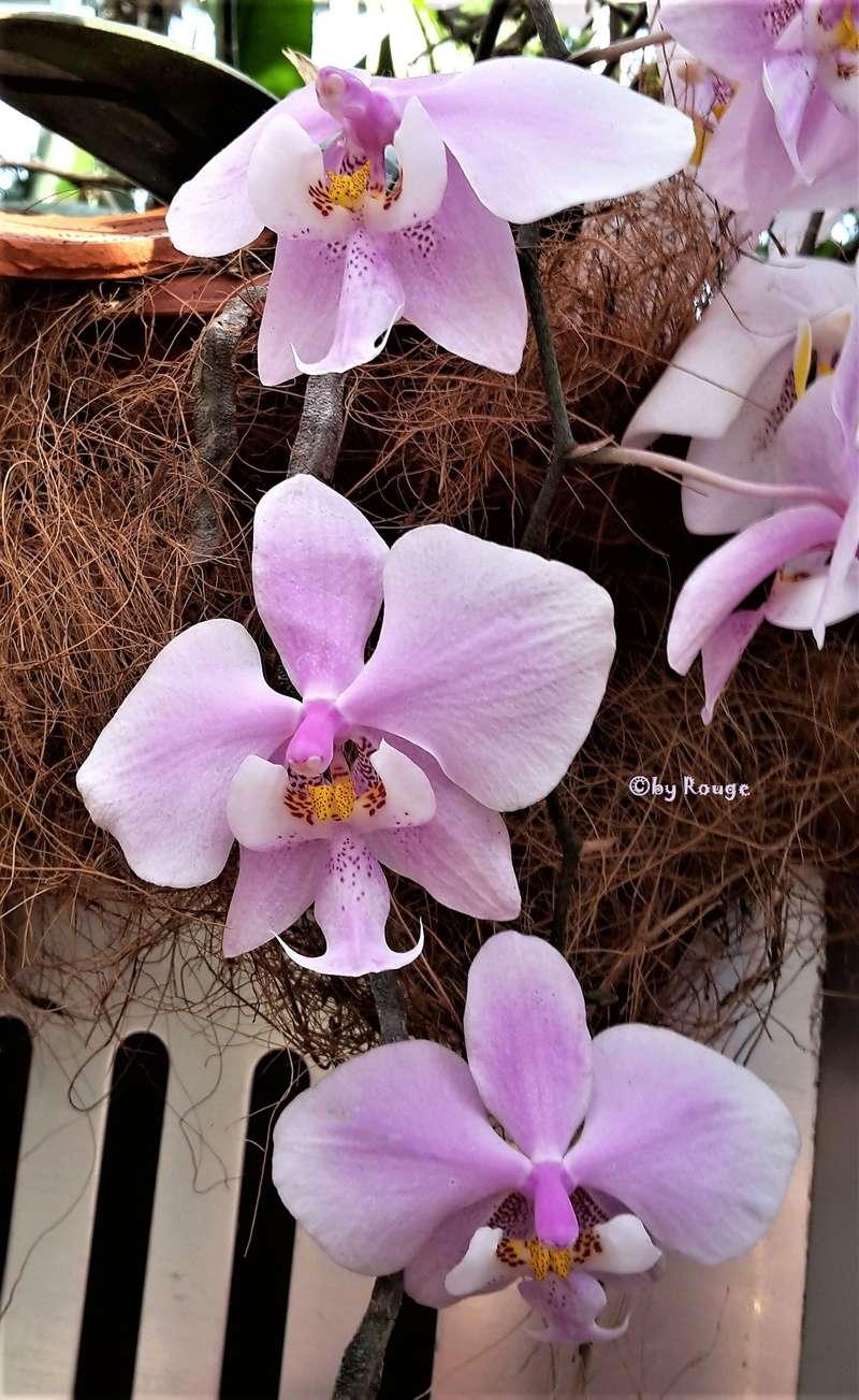 Orchideen 3 (fortlaufende Seiten 300 bis 400) - Seite 38 Phalae16