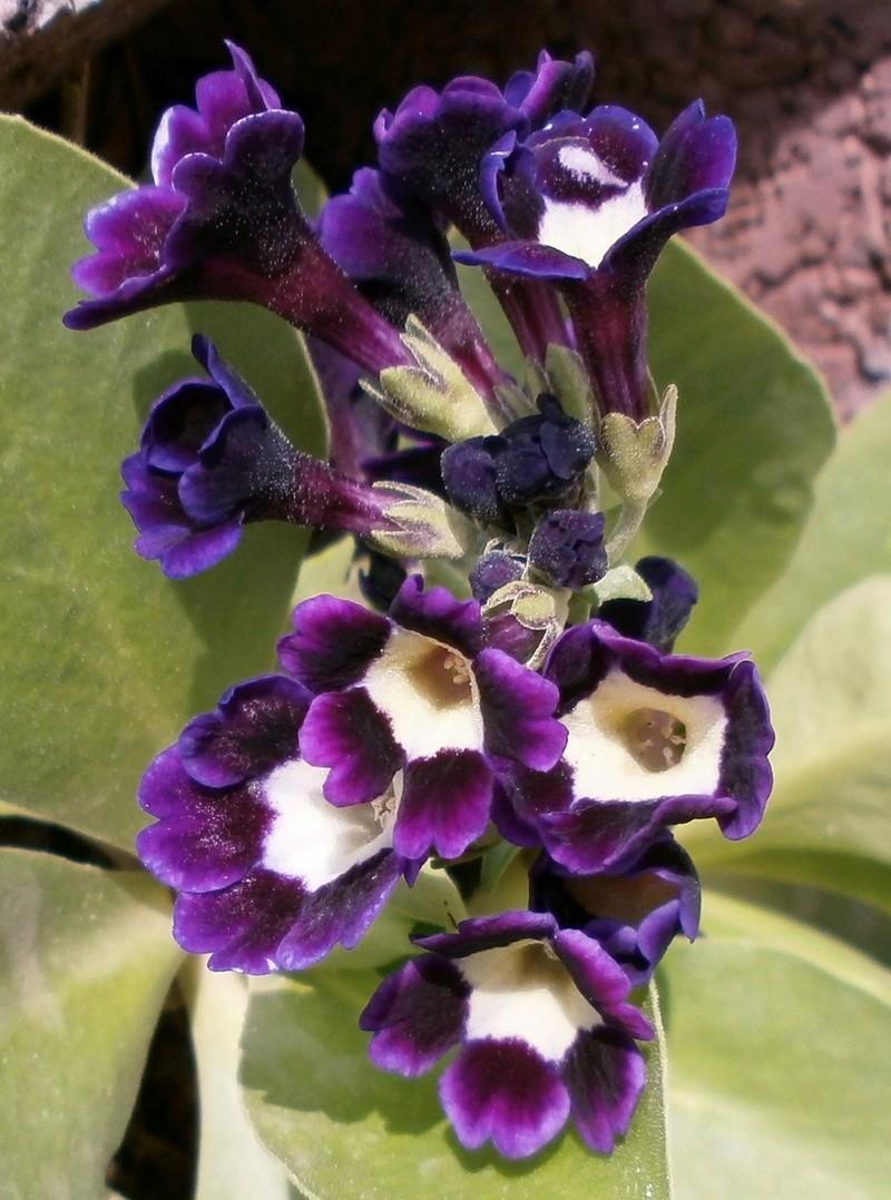 Gattung Primula - Primeln, Aurikeln, Schlüsselblumen - Seite 2 Primul11