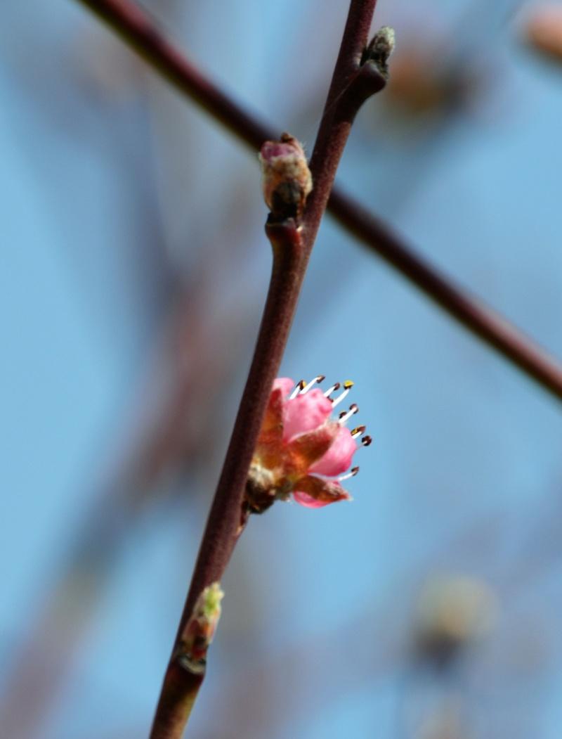 Was für Obstsorten habt Ihr denn im Garten? Aussaat, Spalier, Beerensträucher, Erfahrung und Hilfe :) - Seite 15 Prunus10