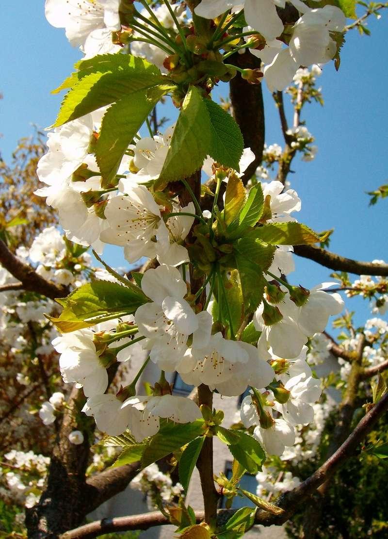 Was für Obstsorten habt Ihr denn im Garten? Aussaat, Spalier, Beerensträucher, Erfahrung und Hilfe :) - Seite 15 Prunus11