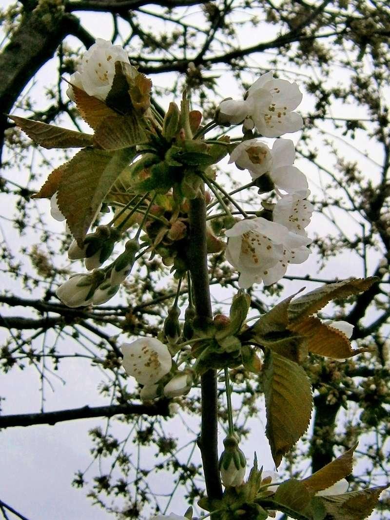 Was für Obstsorten habt Ihr denn im Garten? Aussaat, Spalier, Beerensträucher, Erfahrung und Hilfe :) - Seite 15 Prunus12