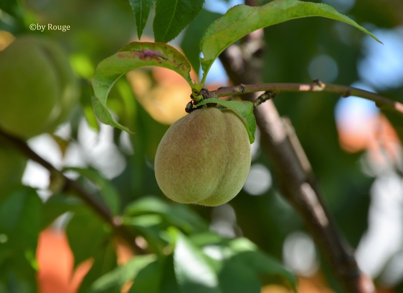 Was für Obstsorten habt Ihr denn im Garten? Aussaat, Spalier, Beerensträucher, Erfahrung und Hilfe :) - Seite 15 Prunus13