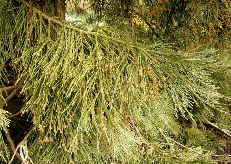 Mammutbäume: Sequoia, Sequoiadendron, Metasequoia - Seite 3 Sequoi10