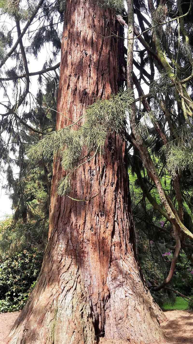 Mammutbäume: Sequoia, Sequoiadendron, Metasequoia - Seite 3 Sequoi11