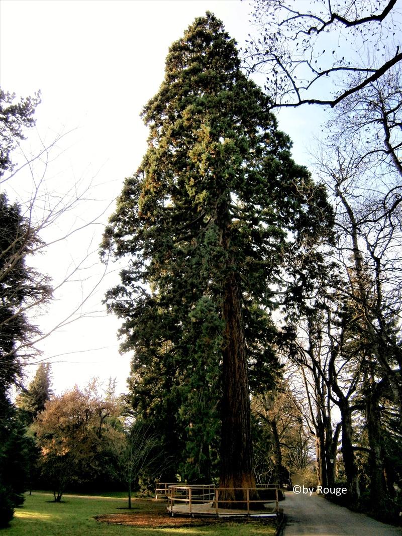 Mammutbäume: Sequoia, Sequoiadendron, Metasequoia - Seite 7 Sequoi12