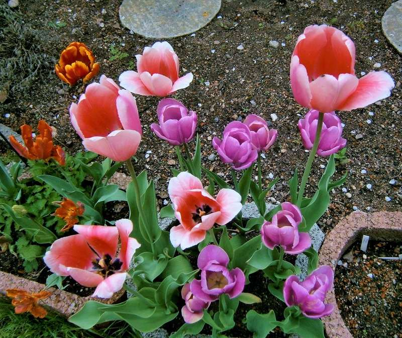 Lilien(artige) -  natürlich Lilien, aber auch Inkalilien, Zeitlose, Germer und Stechwinden - Seite 12 Tulpen12