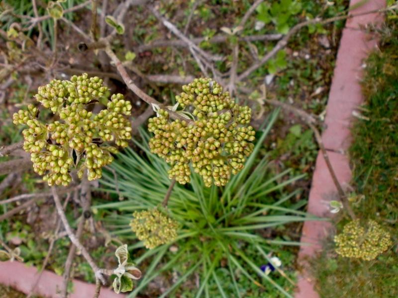 Erste Frühlingsboten im Garten und in Wald und Flur - Seite 65 Viburn12
