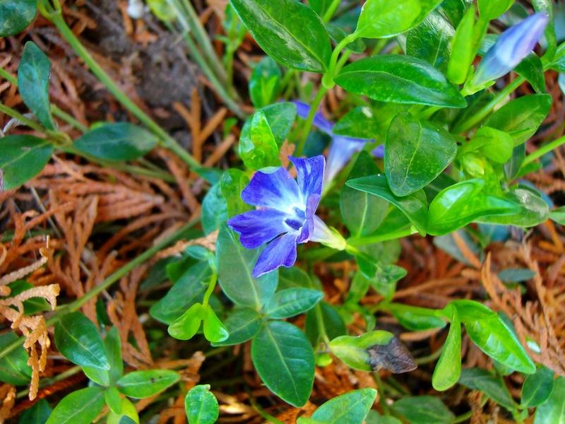 Erste Frühlingsboten im Garten und in Wald und Flur - Seite 65 Vinca_10