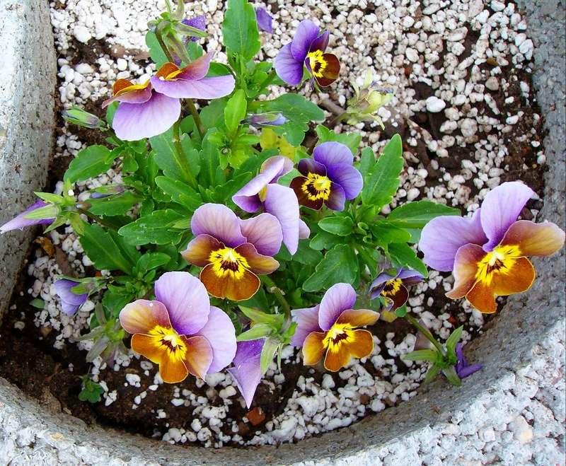 Erste Frühlingsboten im Garten und in Wald und Flur - Seite 65 Viola_10