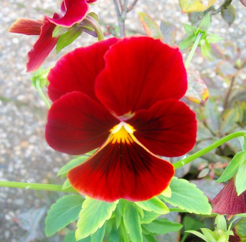 Erste Frühlingsboten im Garten und in Wald und Flur - Seite 65 Viola_12