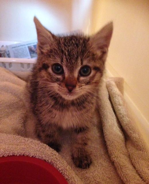 EXTRÊME URGENCE fourrière délai le 9 novembre pour 1 chatonne Chaton16