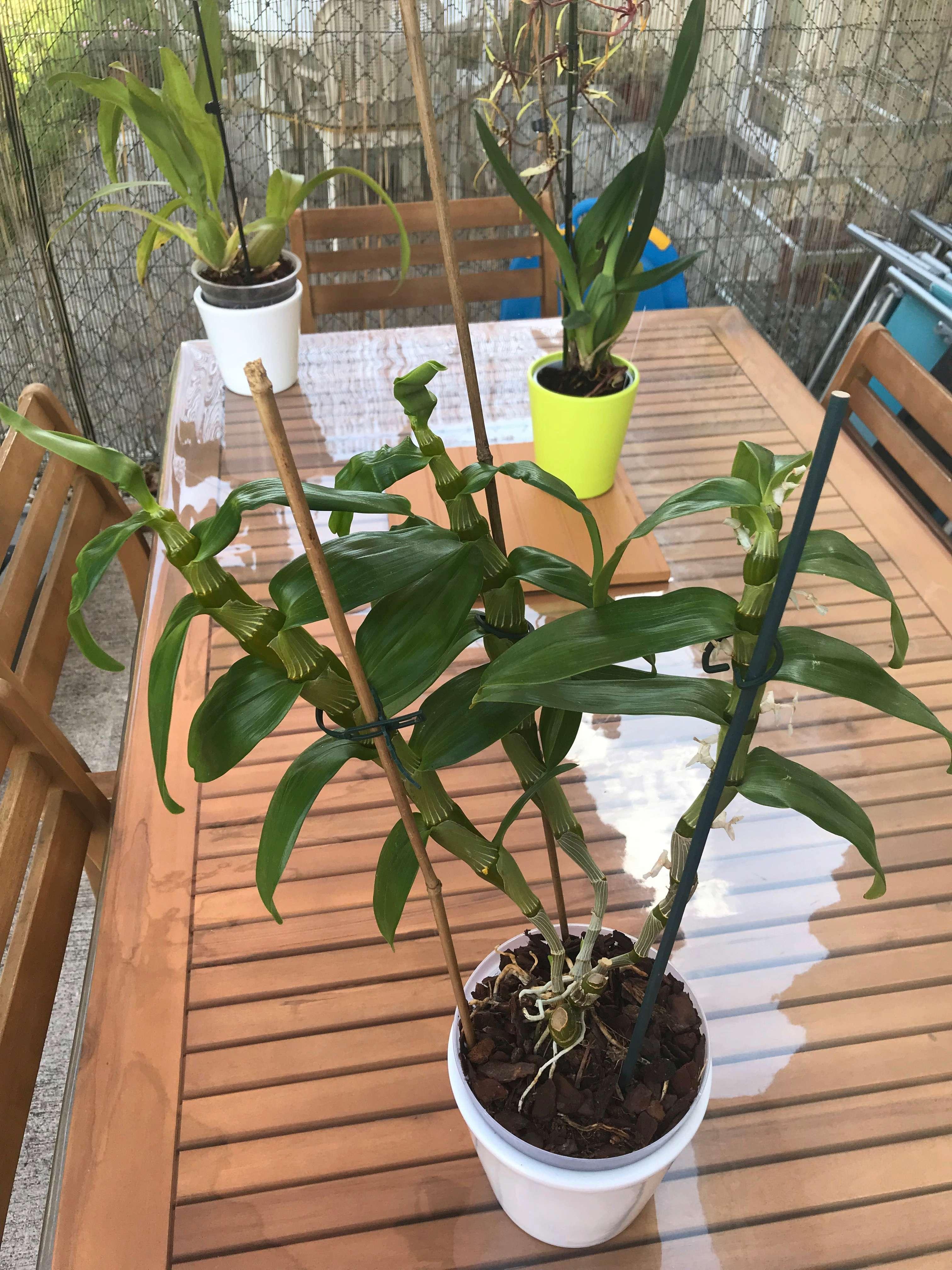 Dendrobium  34067510