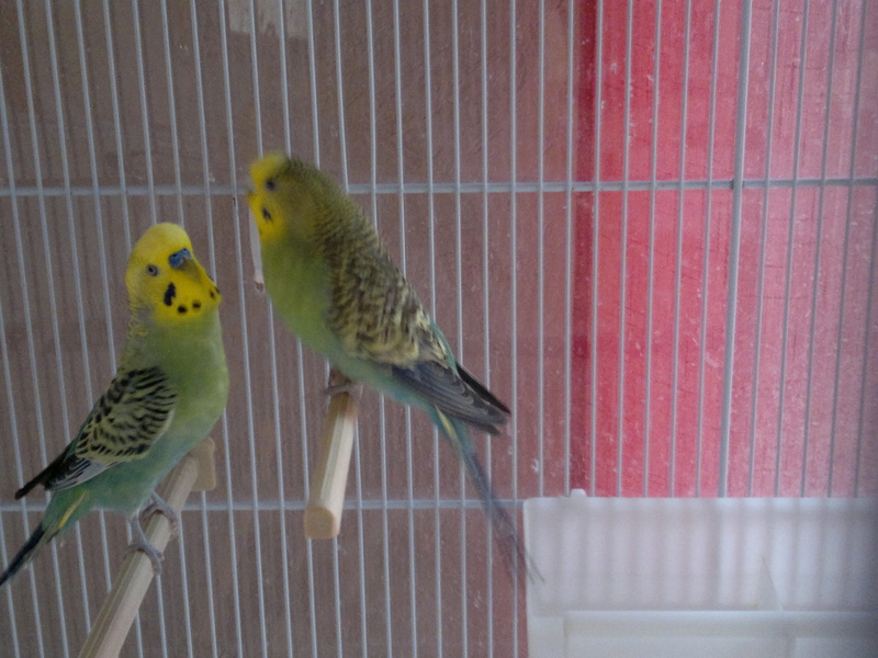 Donne jeunes perruches ( un mâle et sa soeur ) URGENT 00210