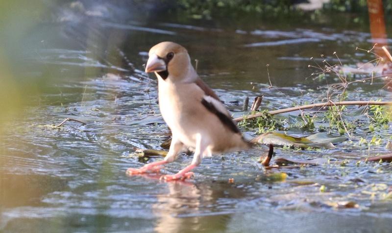 [Tarin des aulnes (Spinus spinus)] un oiseau à déterminer 110