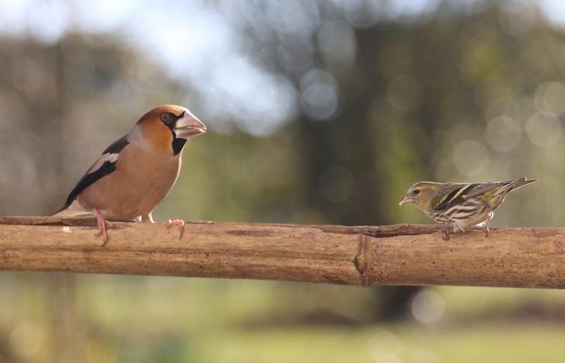 [Tarin des aulnes (Spinus spinus)] un oiseau à déterminer 410