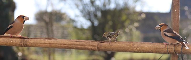 [Tarin des aulnes (Spinus spinus)] un oiseau à déterminer 611