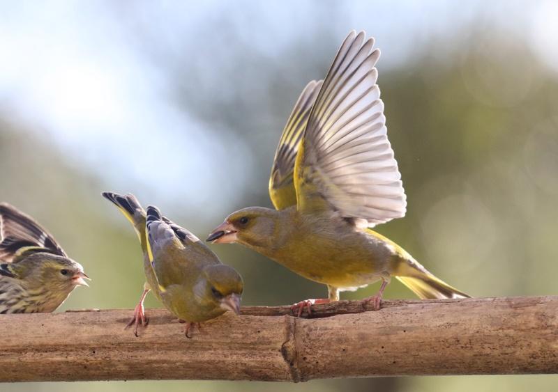 [Tarin des aulnes (Spinus spinus)] un oiseau à déterminer 710