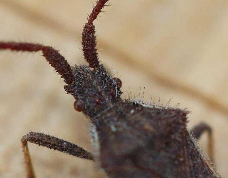 [Coriomeris affinis] coriomeris Hemi_111