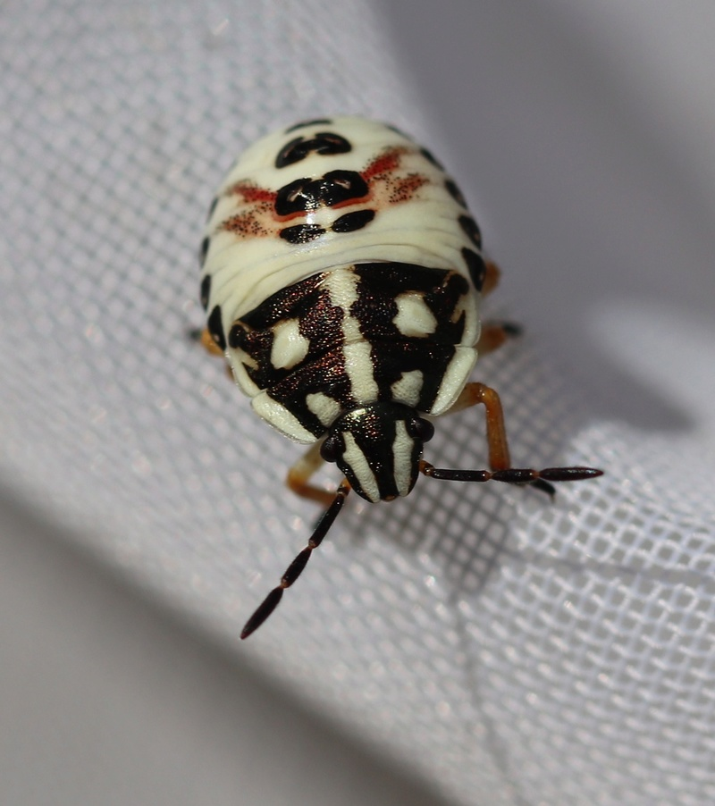 [Coreus marginatus_Odontotarsus sp._Carpocoris sp._Juvéniles_Vaucluse]Trois larves du sud ? Hymi_113