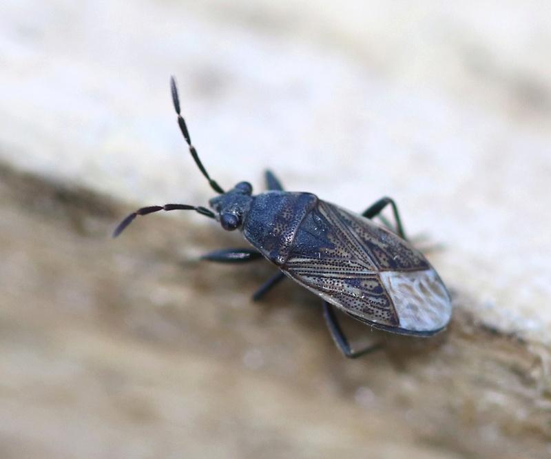 [Peritrechus gracilicornis] Peritrechus gracilicornis ? Hymi_116