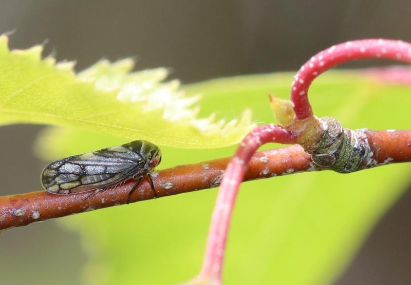 [Oncopsis sp.] Joli homoptère  ? Hymi_510