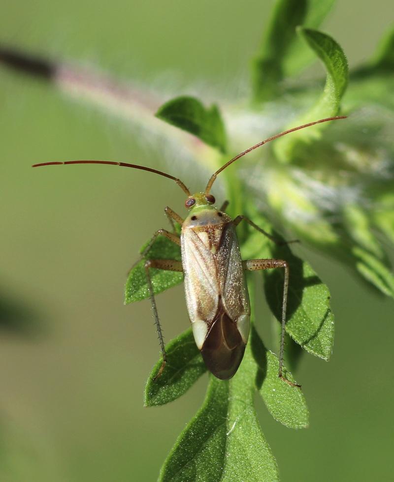 [Adelphocoris sp._Vaucluse] Un miridae Hymi_710