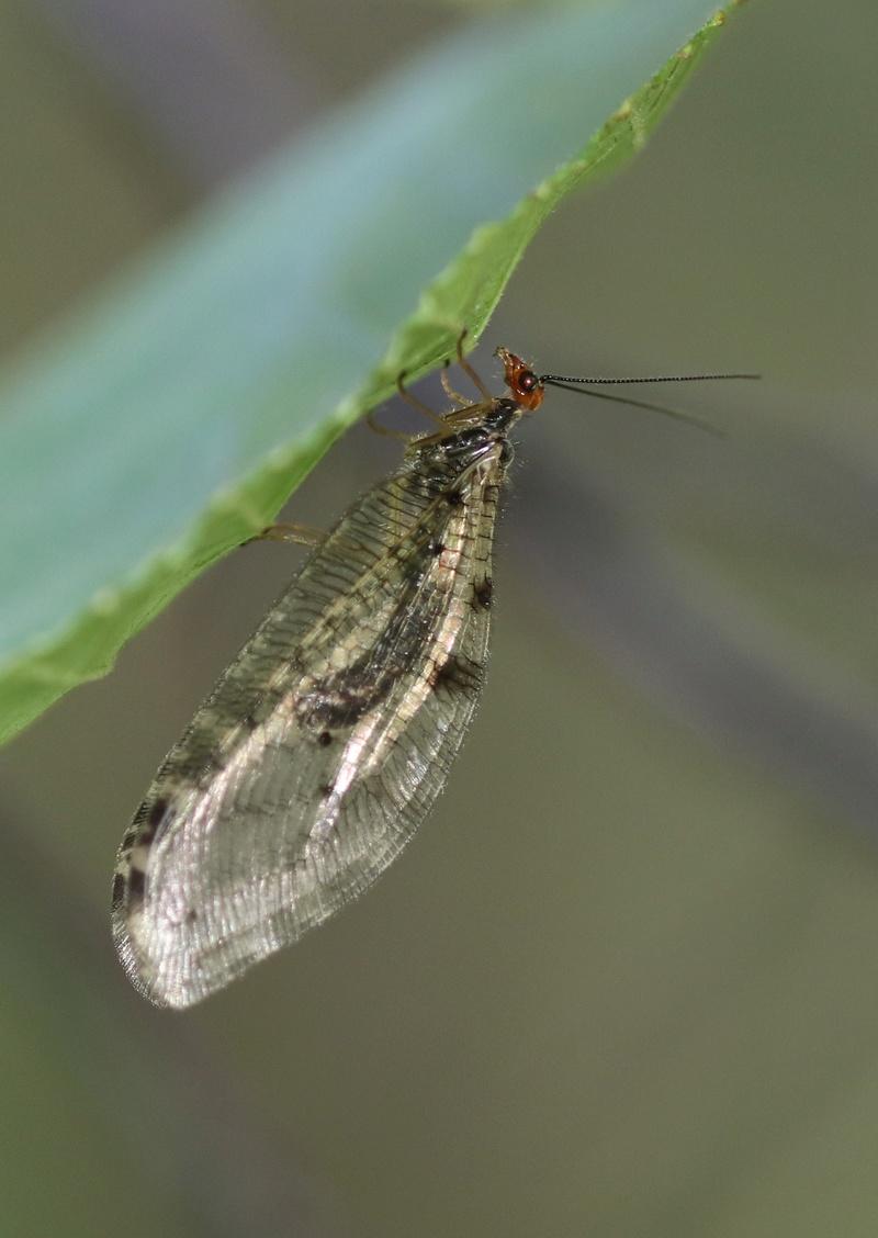 Osmylus fulvicephalus Img_6110