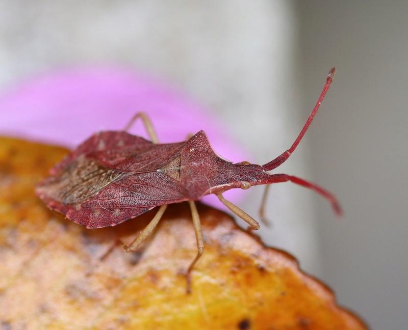 [Haploprocta sulcicornis] Haploprocta sulcicornis Img_7212
