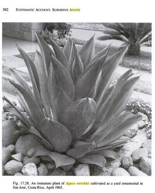 Agave wercklei  Agave_10