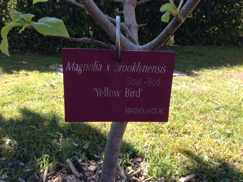 Magnolia 'Yellow Bird' Img_0611