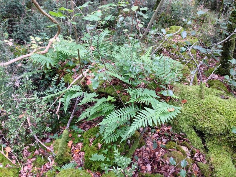 Polypodium groupe vulgare - polypode commun Img_3010