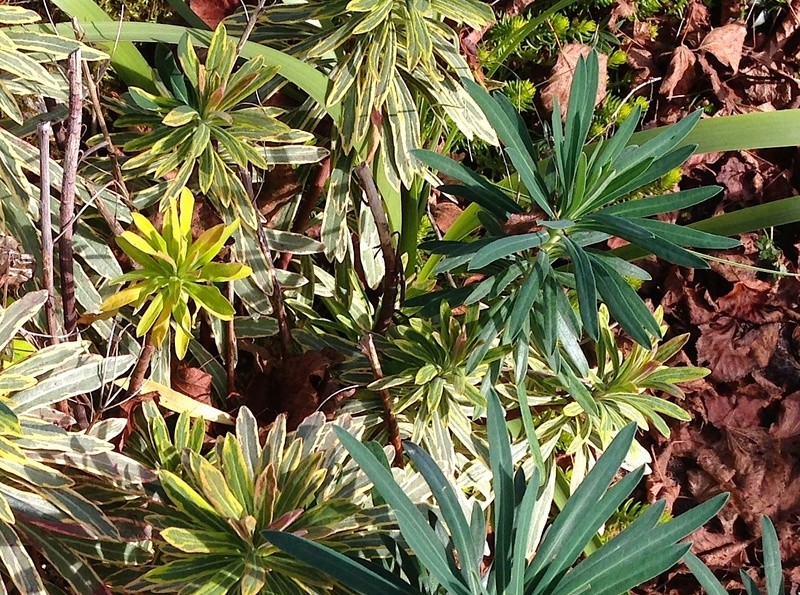 Euphorbia x martinii (amygdaloides x characias) - Page 3 Img_3028