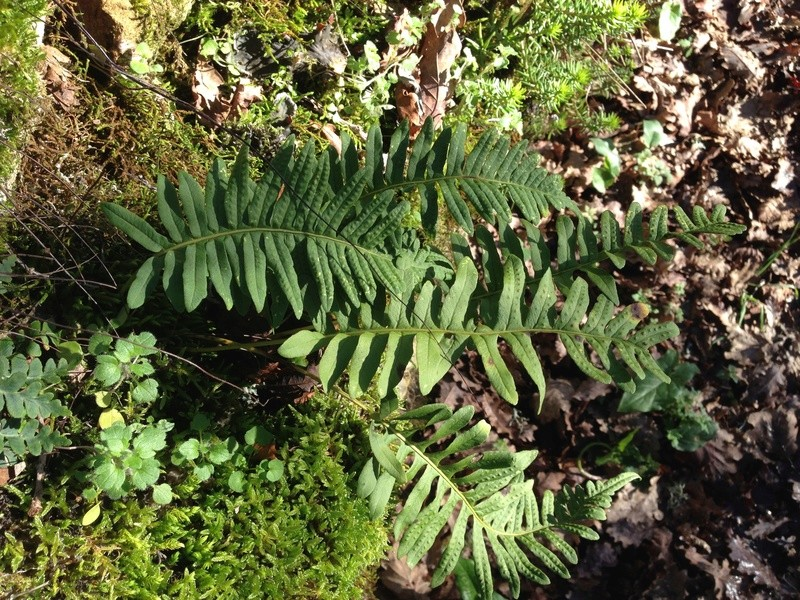 Polypodium groupe vulgare - polypode commun Img_3226