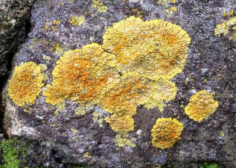 Xanthoria parietina - xanthorie des parois Img_3310