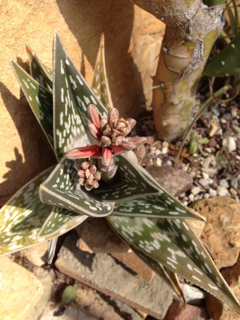 Aloe variegata - Page 3 Img_3410