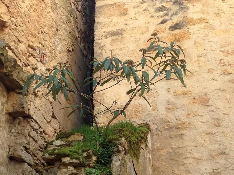 Viburnum rhytidophyllum Img_3412