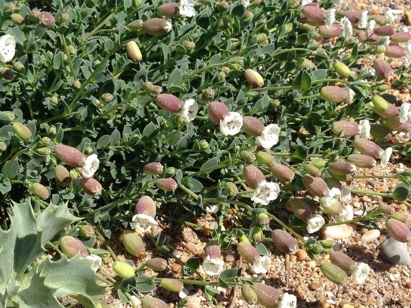 Silene uniflora ssp uniflora - silène maritime  Img_3418