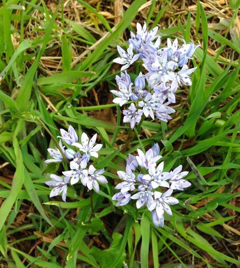 fleurs bleues lande côtière [identification à compléter] Img_3422