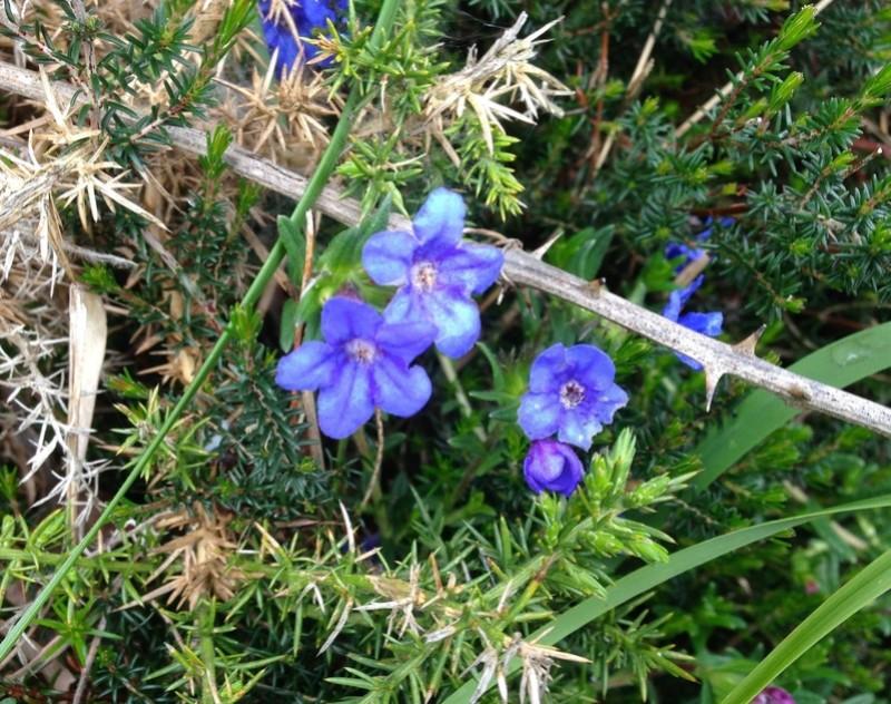 fleurs bleues lande côtière [identification à compléter] Img_3423