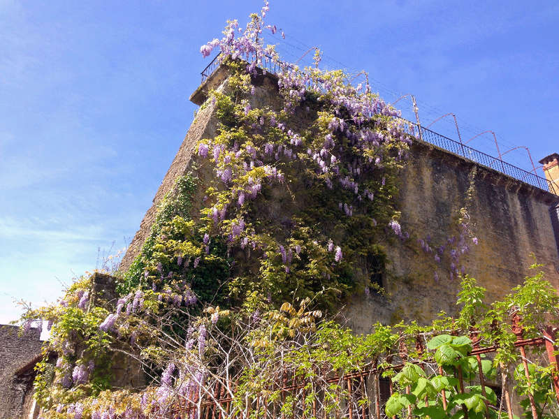 Wisteria - les glycines  - Page 6 Img_3518