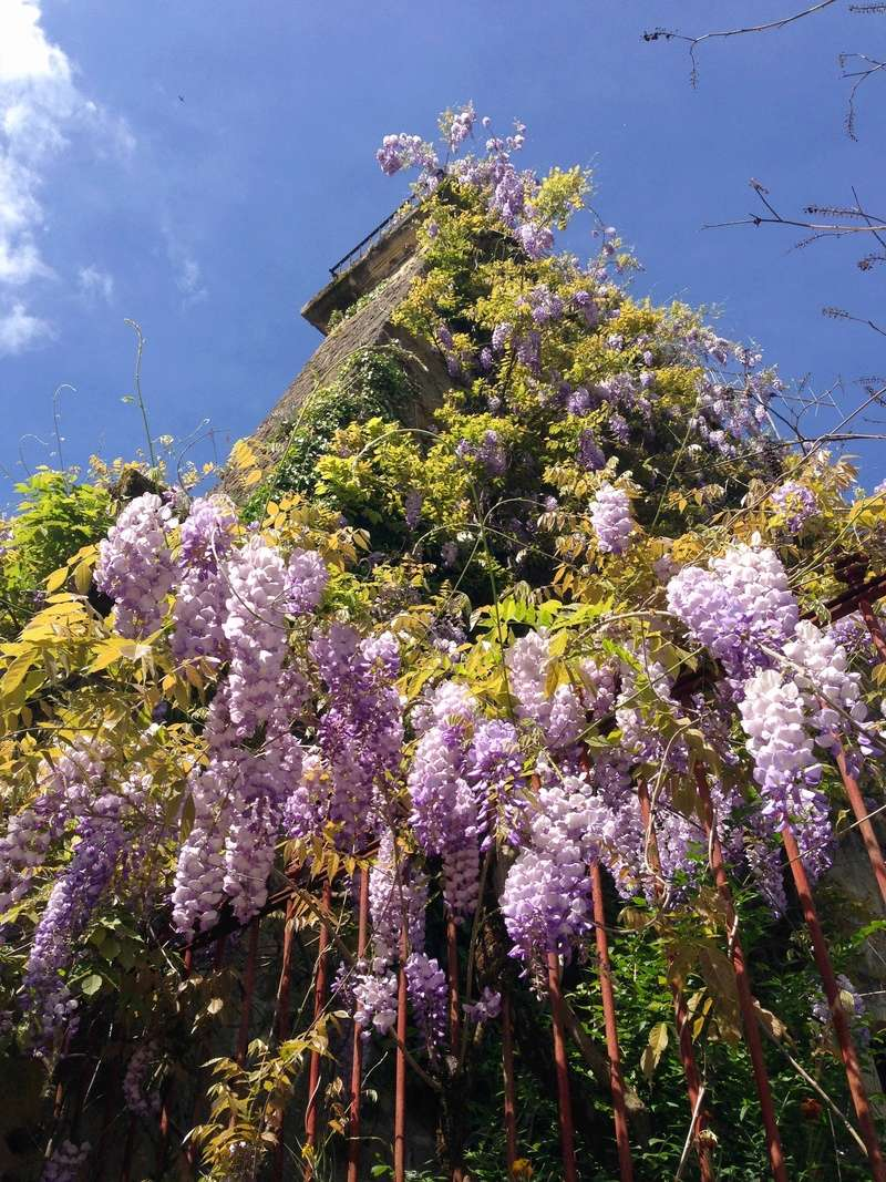 Wisteria - les glycines  - Page 6 Img_3519