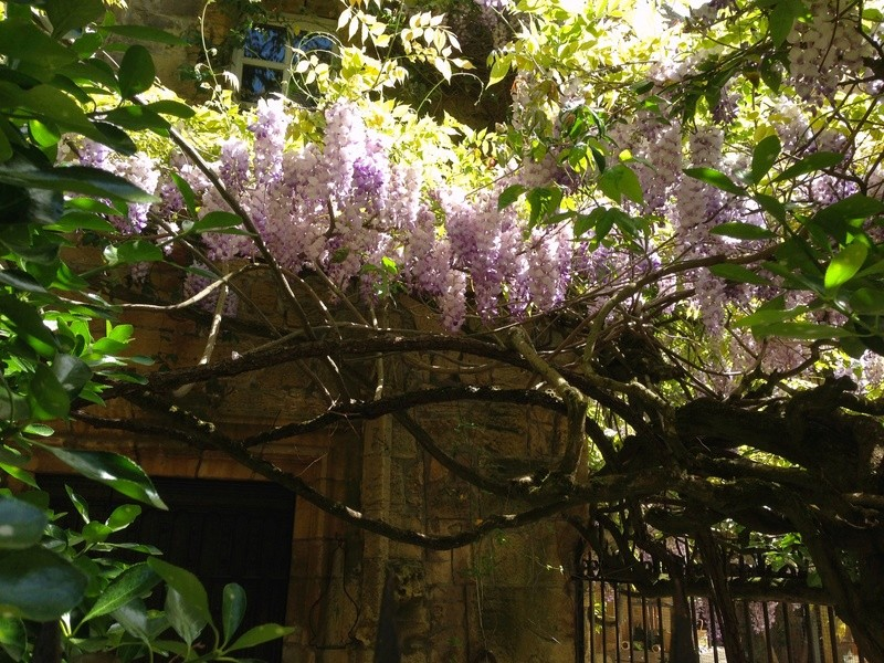 Wisteria - les glycines  - Page 6 Img_3521