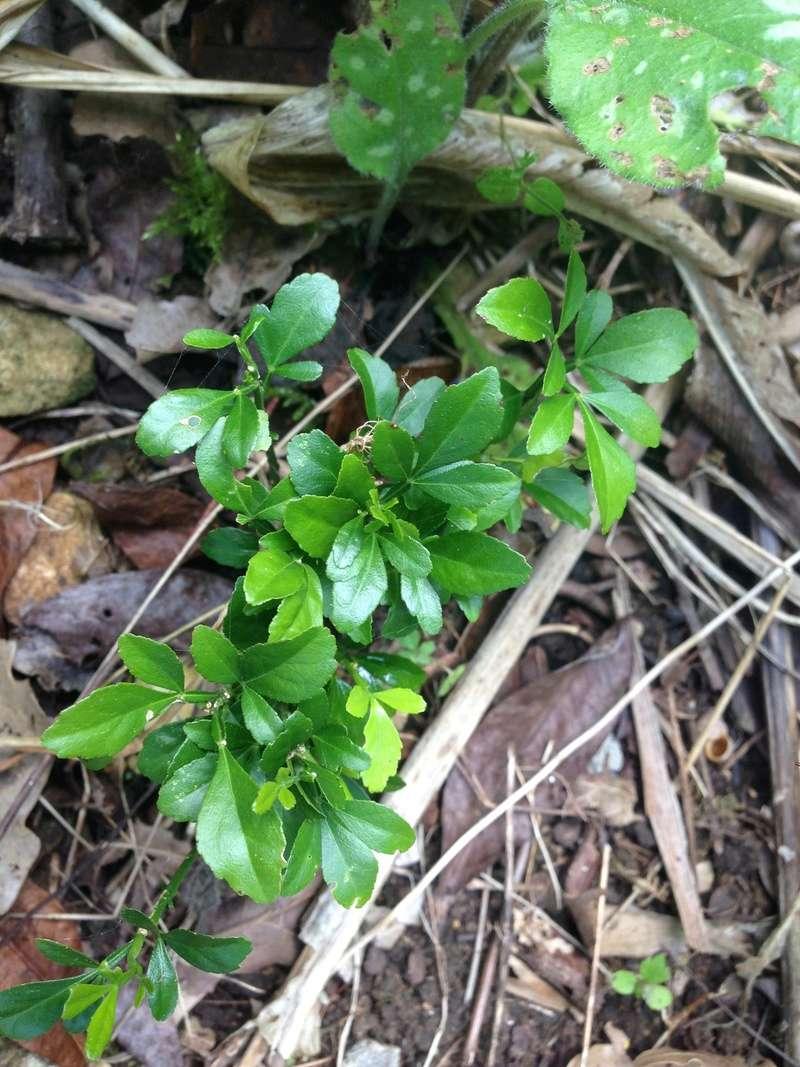 Poncirus trifoliata [Identification semis] Img_3613
