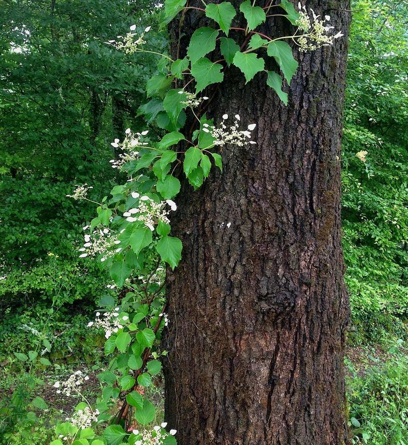 Hydrangeaceae grimpantes Img_3621