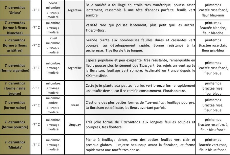 Tillandsia aeranthos - Page 2 T_aera11