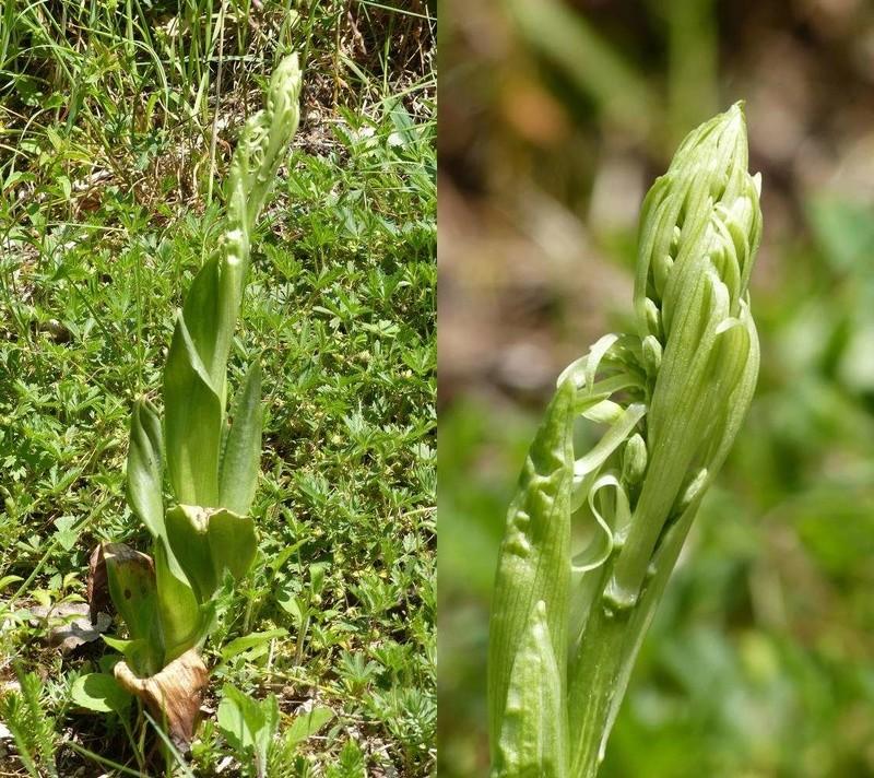Est-ce une orchidée ? [Himantoglossum hircinum]  Malix_10
