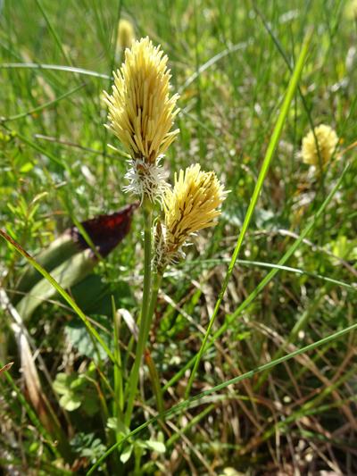 Carex humilis - laîche naine Carex_10