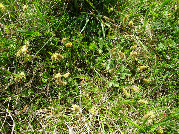 Carex humilis - laîche naine Carex_11