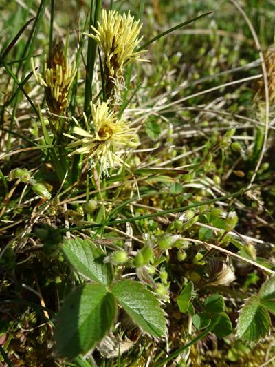 Carex humilis - laîche naine Carex_12